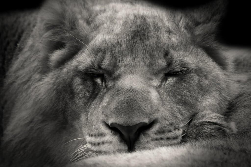 Schlafender Löwe s/w