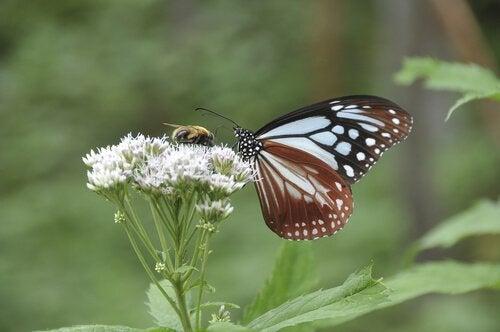 Schmetterling und Biene an Doldenblütler