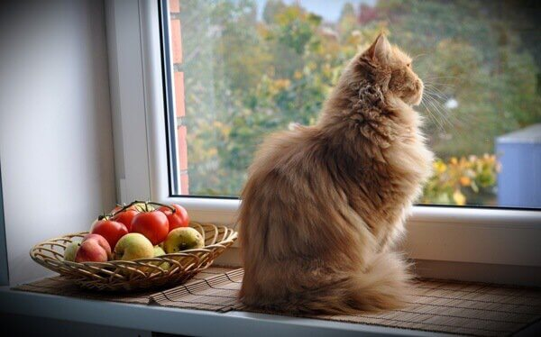 Katze sitzt neben Obstschale am Fenster