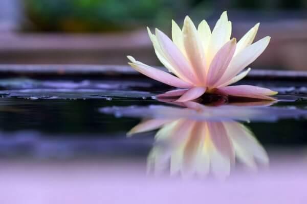 Lotus-Bluete-im-Wasser