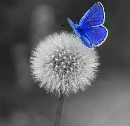 Pusteblume mit blauem Schmetterling