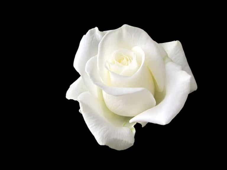 Sophie Scholl, das junge Mädchen, das sich mit einer weißen Rose Hitler entgegengestellt hat