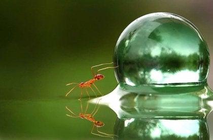 Eine Ameise schiebt mit ihren Vorderbeinen einen Wassertropfen.