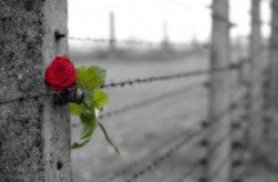 Rose am Stacheldrahtzaun