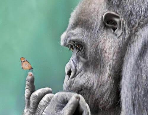 Gorilla hält Schmetterling auf dem Finger
