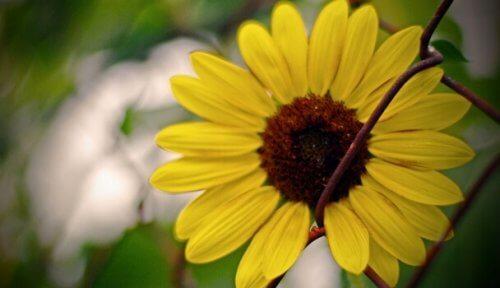 Eine Sonnenblume