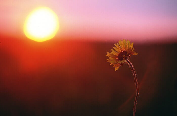 Blume bei Sonnenuntergang