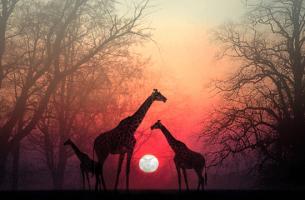 Eine wunderschöne afrikanische Erzählung - Giraffen vor der untergehenden Sonne