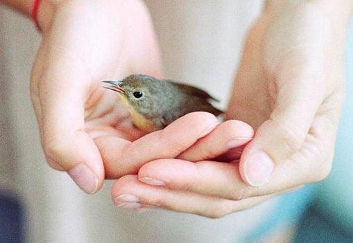 Ein winziger Vogel wird in einem Paar Hände gehalten.