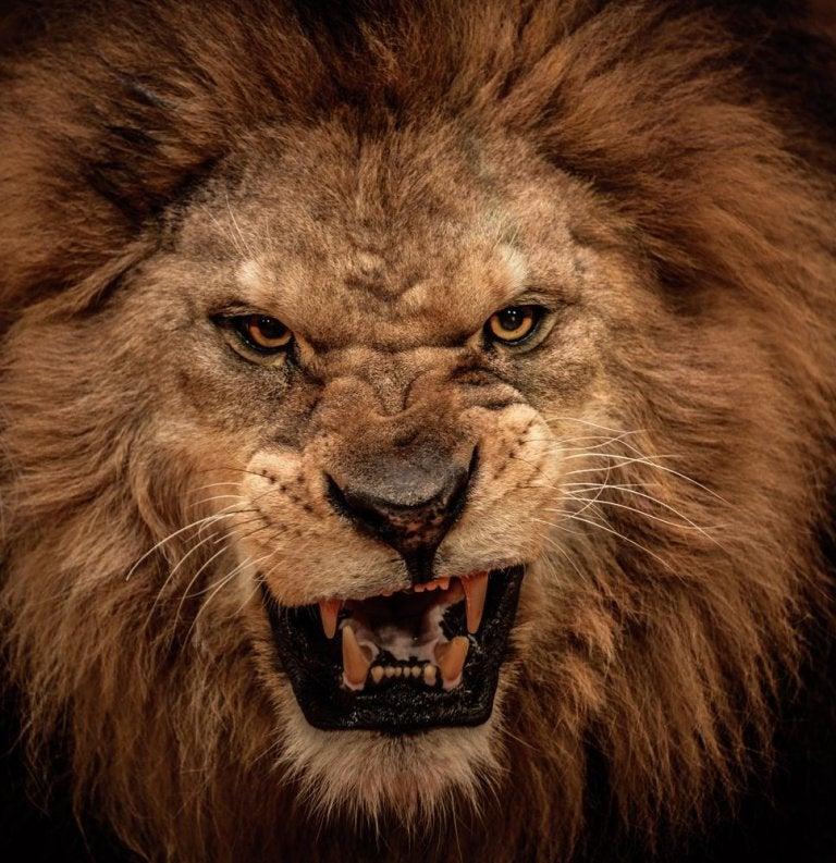 Löwe hebt die Lefzen
