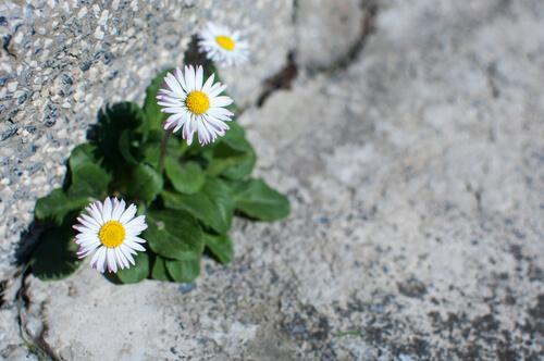 Gänseblümchen am Straßenrand
