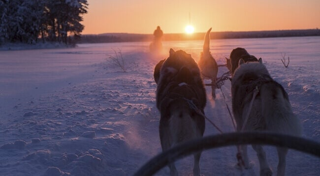 Schlittenhunde in Finnland