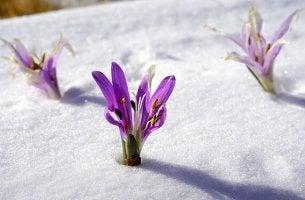 Sisu - wie der Krokus durch die Schneedecke