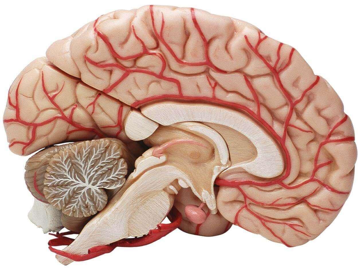 Das menschliche Gehirn im Querschnitt.