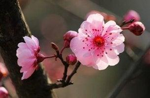Japanische Psychologie - Kirschblüten