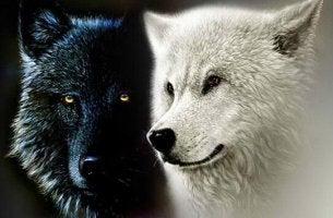 Die zwei Wölfe - schwarzer Wolf und weißer Wolf