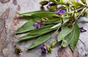 Vorteile von Salbei, einer Heilpflanze mit lila Blüten