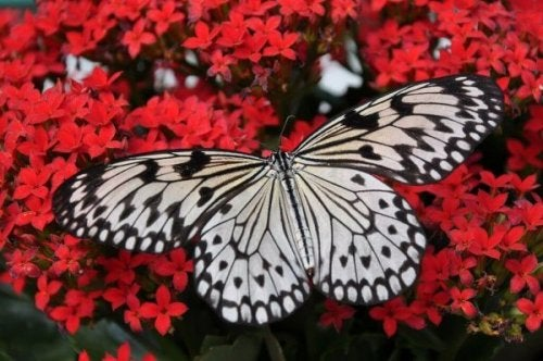 Schmetterling vor roten Blüten
