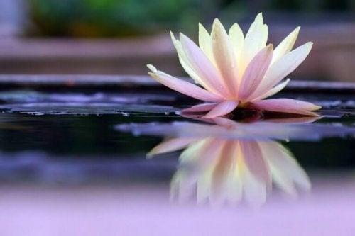 Seerose auf dem Wasser