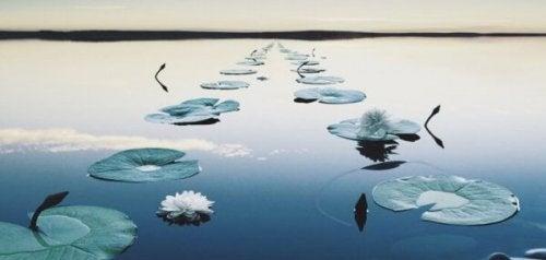 Seerosenblätter, die einen Pfad auf dem Wasser bilden.