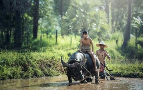 Ein chinesischer Junge reitet einen Ochsen.