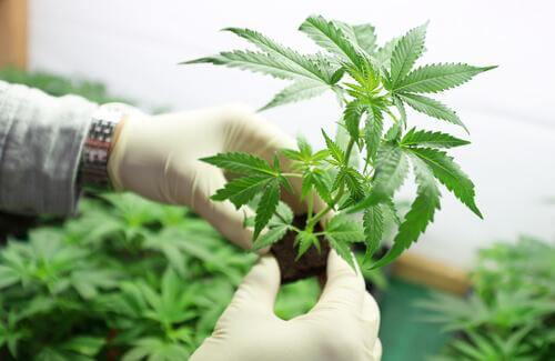 Cannabispflanze