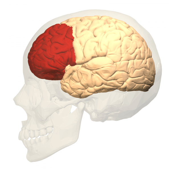 Der präfrontale Kortex rot markiert im Gehirn
