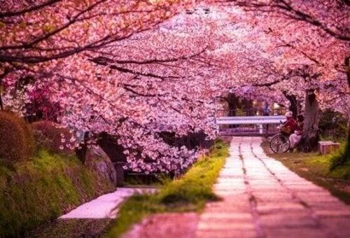 Blühende Kirschbäume in Japan