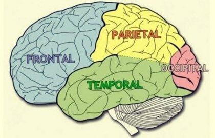 Merkmale und Funktionen der Hirnlappen