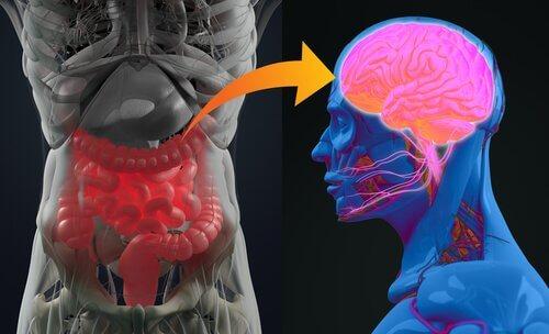 Nervensystem in Darm und Gehirn