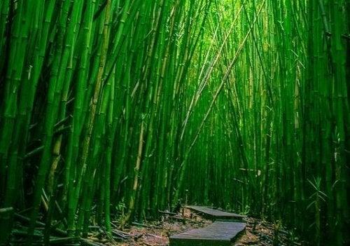 Bambuspfad