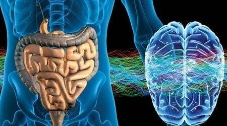 """Denkt nicht, sondern fühlt: das enterische Nervensystem, unser """"zweites Gehirn"""""""