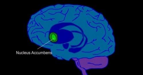 Schematische Darstellung eines Gehirns mit Nucleus accumbens