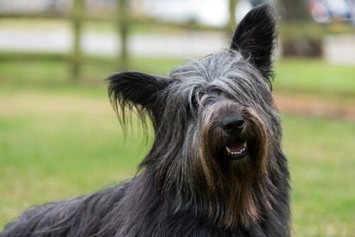 Foto eines Skye Terriers