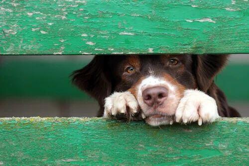 Trauriger Hund schaut durch einen Zaun