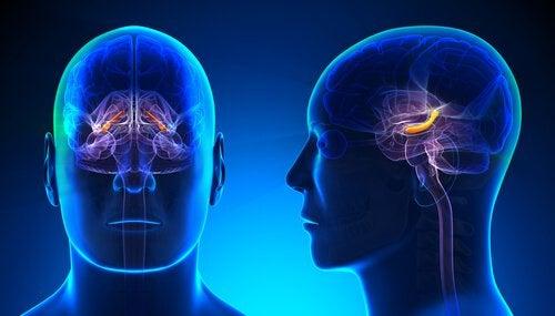 Hippocampus: Struktur und Funktionen