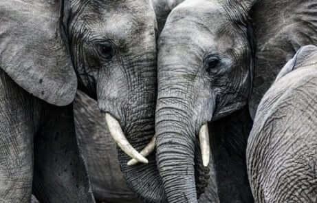 Zwei traurige Elefanten.