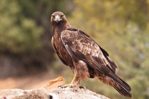 Der Adler in unserer Geschichte über Identität fühlt sich den Hühnern verbunden