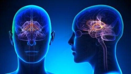 Eine Vorderansicht einer Person und ihres limbischen Systems.