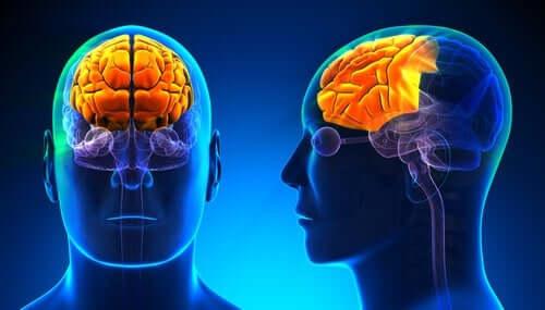 Alkoholabhängigkeit - Gehirn