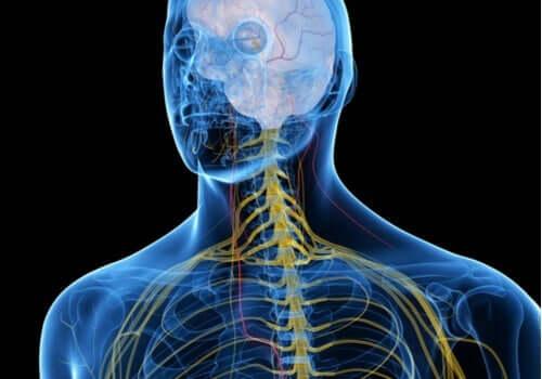 somatische Nervensystem - farbiges Nervensystem eines Mannes