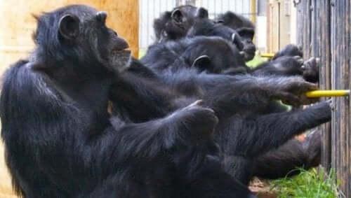 Schimpansen wissen, wie man potenzielle Konkurrenten täuscht und sogar proaktives Verhalten fördert, das der Gruppe zugute kommt.