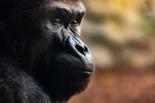 Drei unglaubliche Totenrituale von Gorillas
