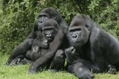 Gorillas - Gruppe