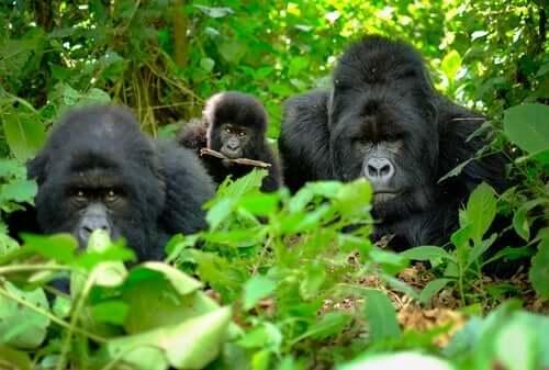 Gorillas - im Gebüsch
