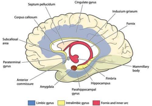 Zusammenfassend kann eine Schädigung des Gyrus cinguli deine Fähigkeit beeinträchtigen, auf bestimmte Reize zu reagieren.