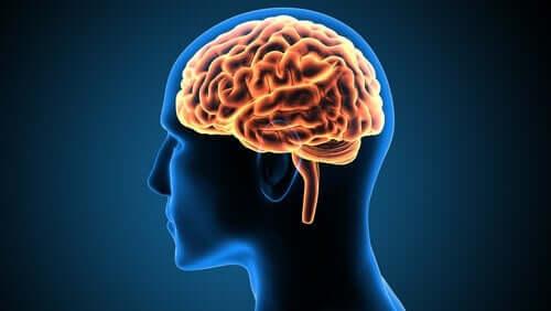 Der Gyrus cinguli: Struktur und Funktion