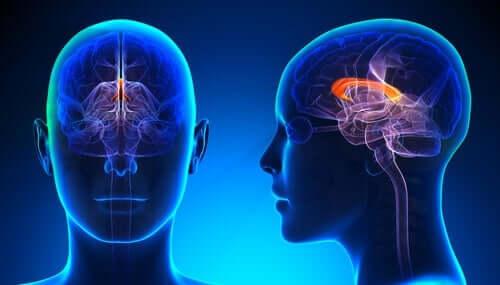 Linkshänder - Gehirn Innenansicht