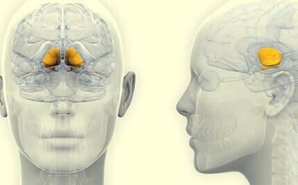 Die Substantia nigra ist an die Lernprozesse gebunden, da sie die Reaktion des Gehirns auf Reize vermittelt. Ihre Funktion ist es, das Lernen dank der verstärkenden Wirkung von Dopamin zu erleichtern.