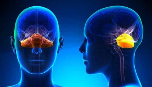 Anatomie des Enzephalons - Gehirn von vorne und der Seite